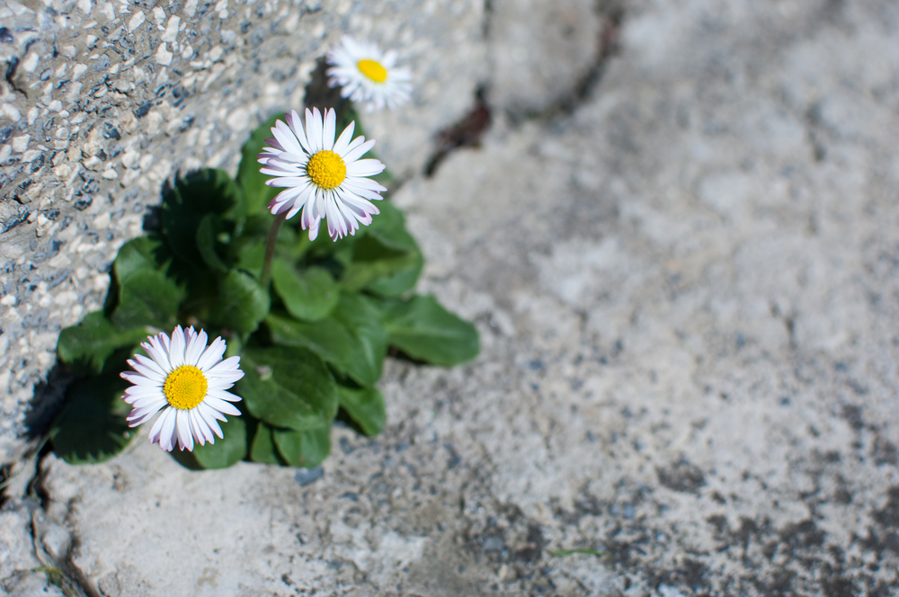 daisies in concrete